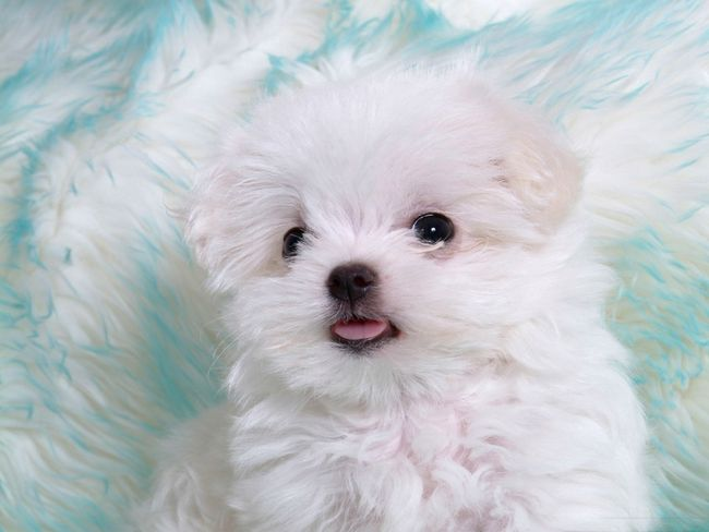 BLUE AND WHITE FLUFFY PUP