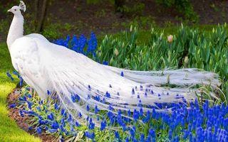 ALBINO PEACOCK BLUE FLOWERS