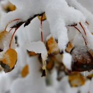 Fall-aspen-leaves-covered-with-snow-190x190