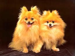 2 GOLDEN DOGS