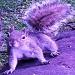 Purple-squirrel 75x75